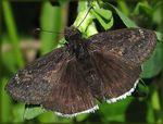 Title: Funereal Duskywing