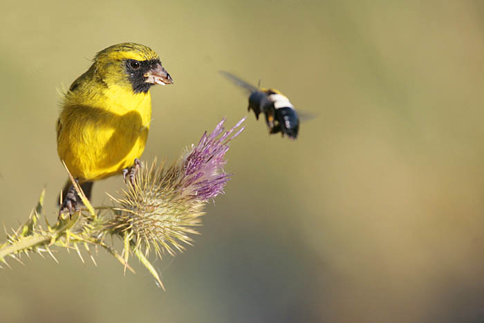 Weaver Bird and Bee