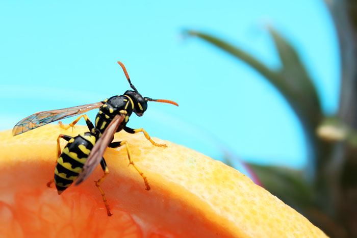 Poolside Wasp