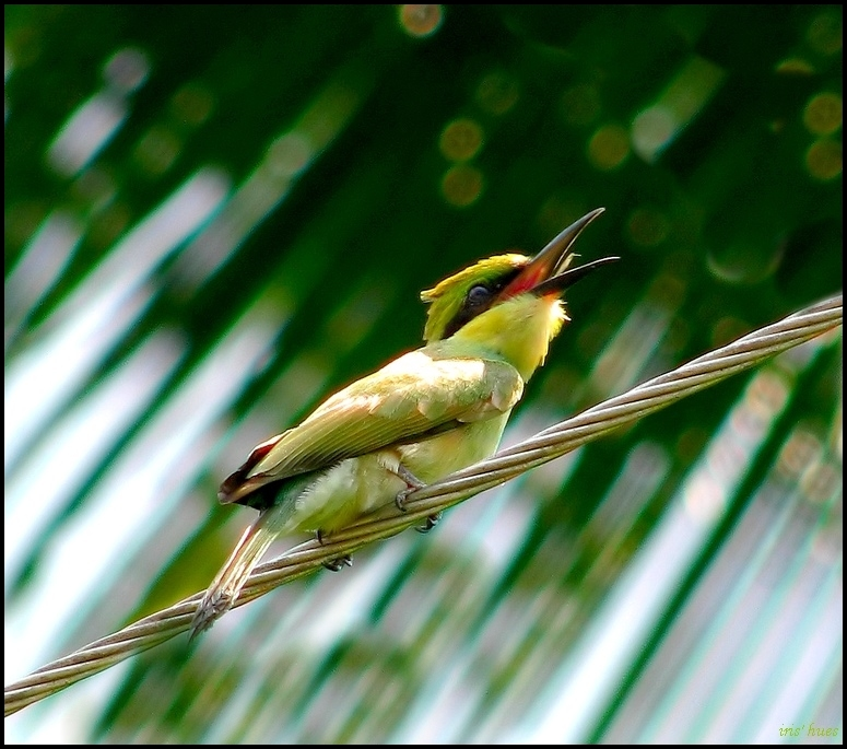 Chestnut Headed Bee Eater Juvenile