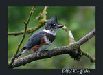 Title: Belted Kingfisher Camera: Canon EOS 300D