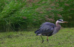Title: early morning heron