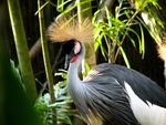 Title: African crowned crane