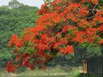 Title: Delonix regia again!Canon Powershot S2-IS 12X Zoom
