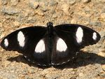 Title: Danaid Eggfly againCanon Powershot S2-IS 12X Zoom