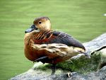 Title: Lesser Whistling Duck