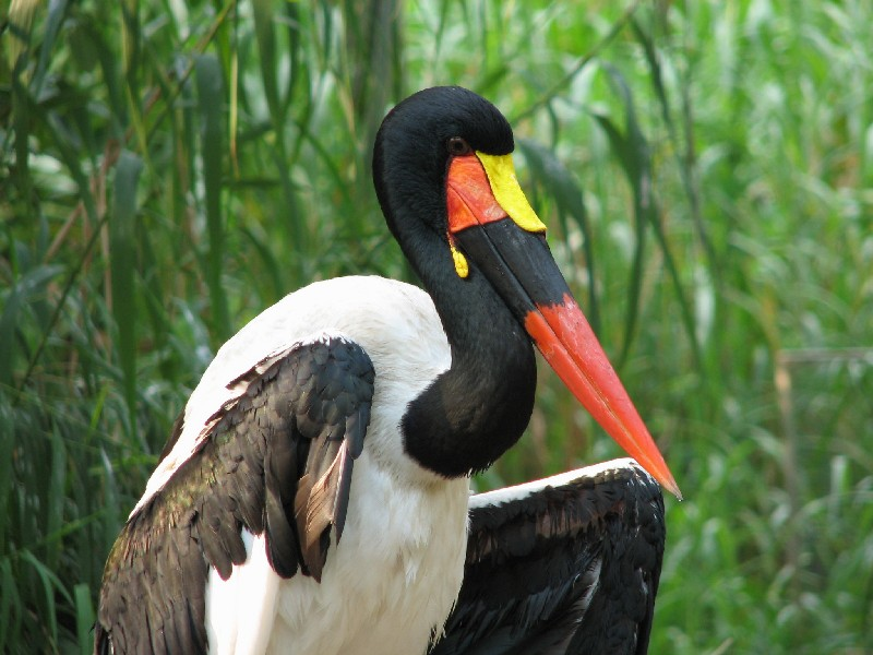 Saddle-billed stork again!