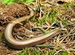Title: Slow-worm