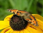 Title: The Small Tortoiseshell