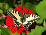 Title: The Old World Swallowtail