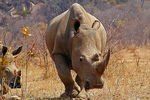 Title: Rhino, too close for comfort (pls read)