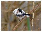 Title: Long-tailed Tit