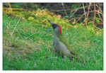 Title: Green Woodpecker/Gr�ng�ling