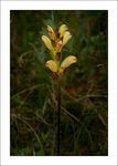 Title: Pedicularis sceptrum-carolinum LNikon D200