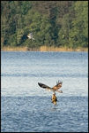 Title: Osprey with fish