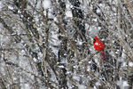 Title: Red cardinal under white snow
