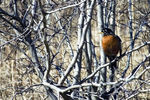 Title: The American Robin in early spring