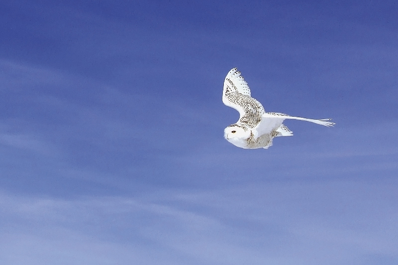 The Snowy Owl like an Angel