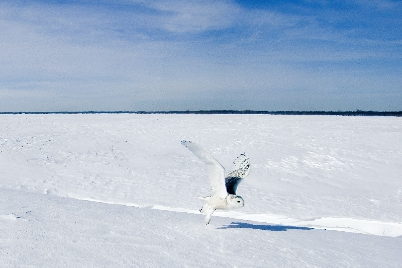 The Snowy Owl on his southern habitat