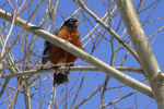 Title: Spring &  American Robin finally arrived