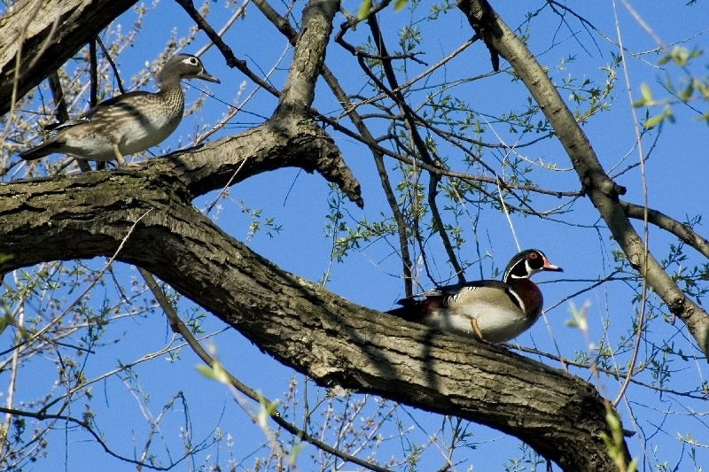 The perched couple of  Wood Ducks