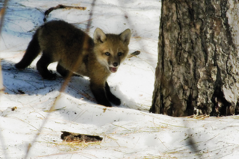 The Red Fox Puppy