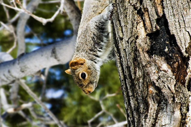 The Grey Squirrel like a snake