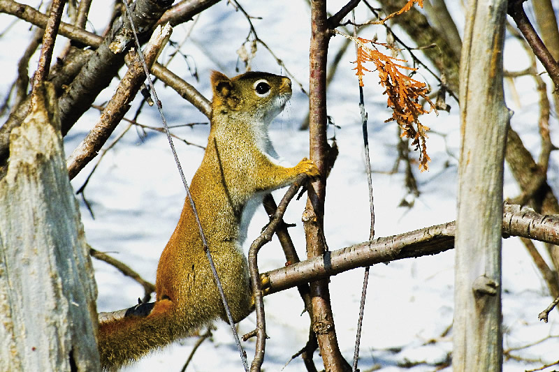American Red Squirrel for Arfer
