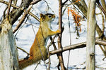 Title: American Red Squirrel for Arfer