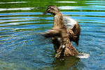 Title: Mallard Duck : wings motionNikon CoolPix L3