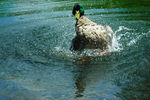 Title: Mallard Duck : drake taking his bath