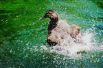 Title: Mallard Duck : female taking her bath
