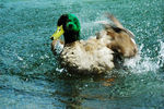 Title: Mallard Duck  water splash & wing motion