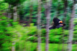 Title: Red-winged Blackbird : effet de fil�