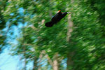 Title: Red-winged Blackbird : takeoff & panning