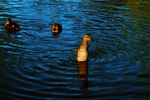 Title: Open-close wings duckling : for Arfer