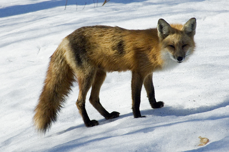The Red Fox for Bobair