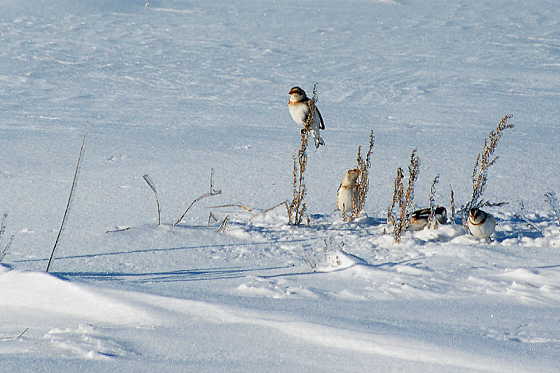 Merry Christmas with the Snow Buntings