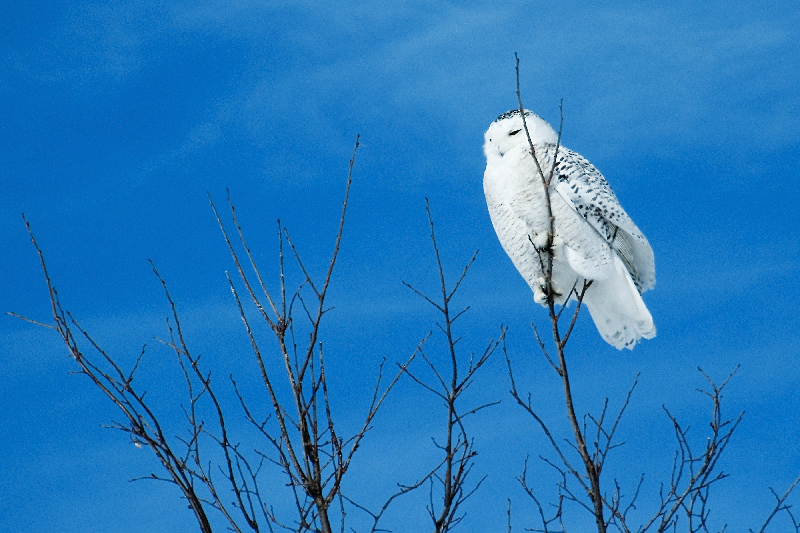 Happy New Year 2009 with the Snowy Owl