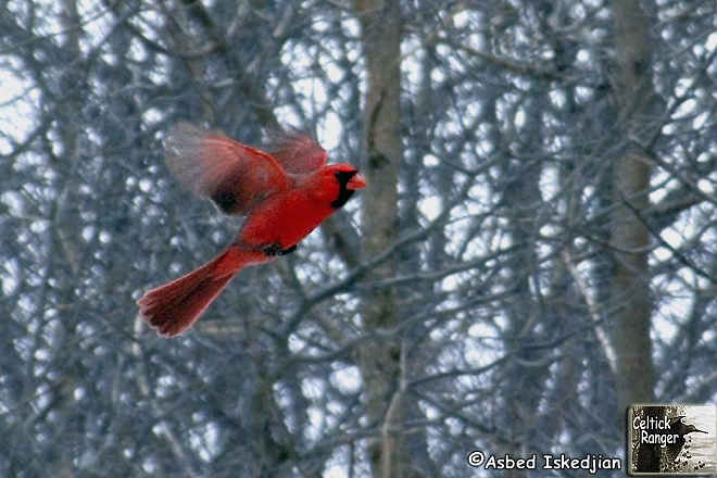 The Red Cardinal at ISO800