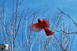 Title: Red over Blue, in-flight !