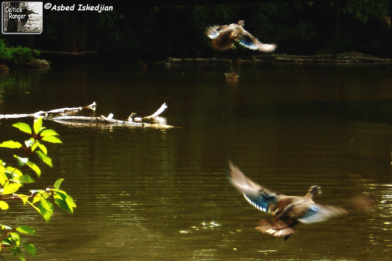 take-off of the Wood Ducks