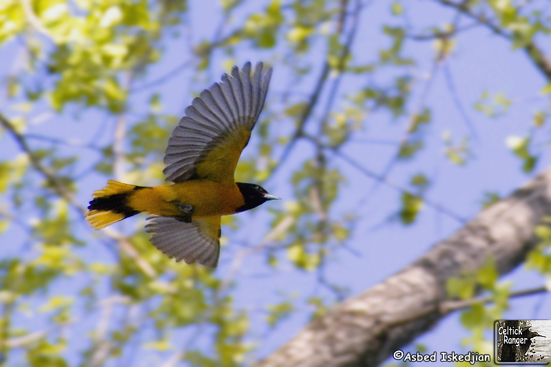 The Baltimore Oriole in-flight