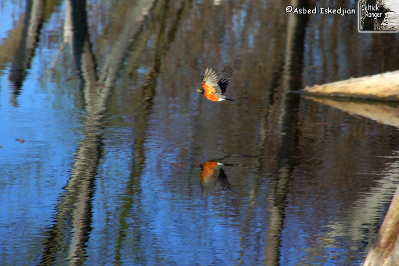 Robin flying with his reflection