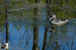 Title: The Pied-billed Grebe