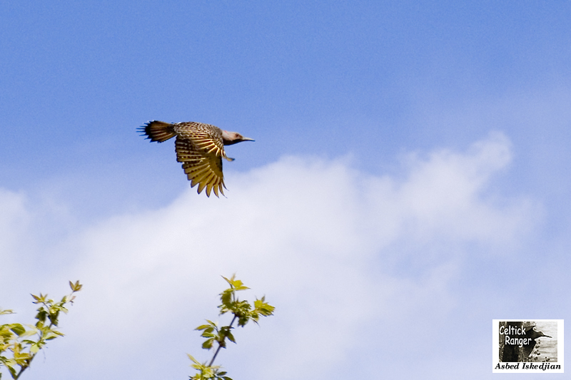 The Northern Flicker in-flight