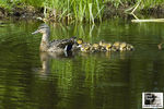 Title: Ducklings following Mommy