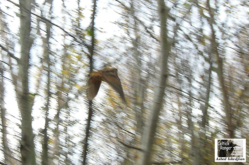 Photo #700 : Woodcock's panning flight