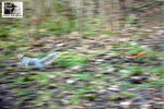 Title: Red Squirrel running after Grey SquirrelNikon CoolPix L3