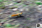 Title: The Speedy Gonzales Red Squirrel